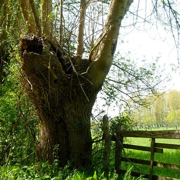 Agroforesterie : trognes, l'arbre paysan aux milles usages